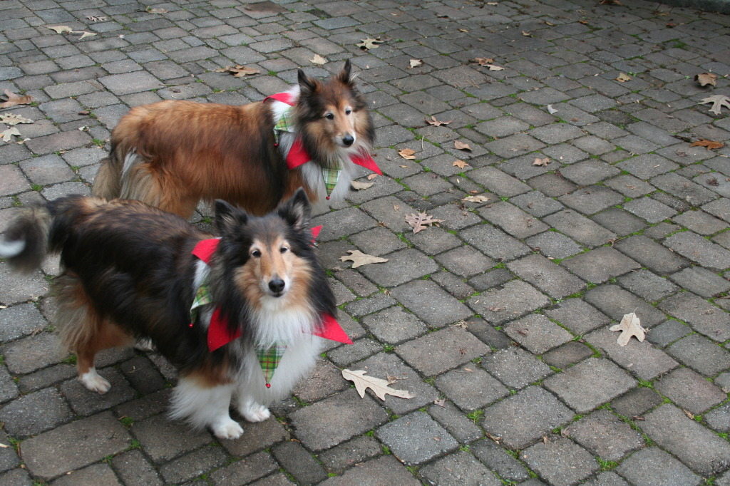 And the dogs! Toby and Laney, they're Shetland Sheep Dogs. They are cuties but they also live up to their breed, if they're outside and you drive away from or to the house they'll chase the car and bite at the tyres in an attempt to herd you! They're very festive at the moment, as you can see